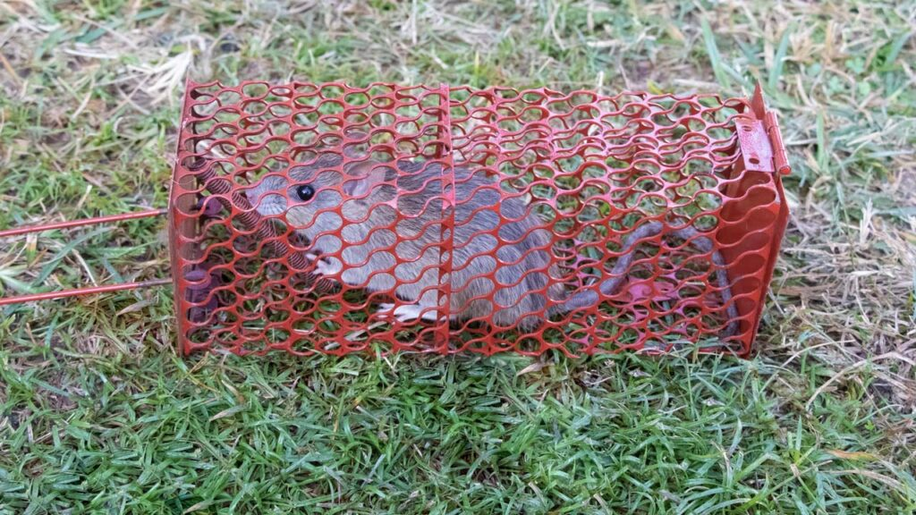 Ratte in Lebendfalle