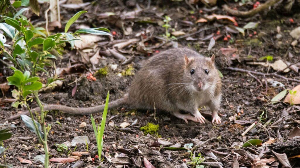 Etwas Neues genug Ratten im Garten erkennen und effektiv bekämpfen - Haus & Garten Profi #CG_68
