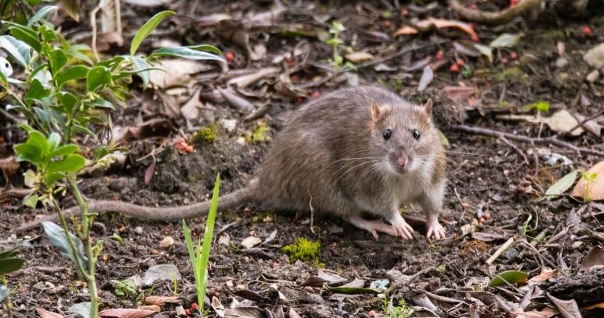 Ratten im Garten