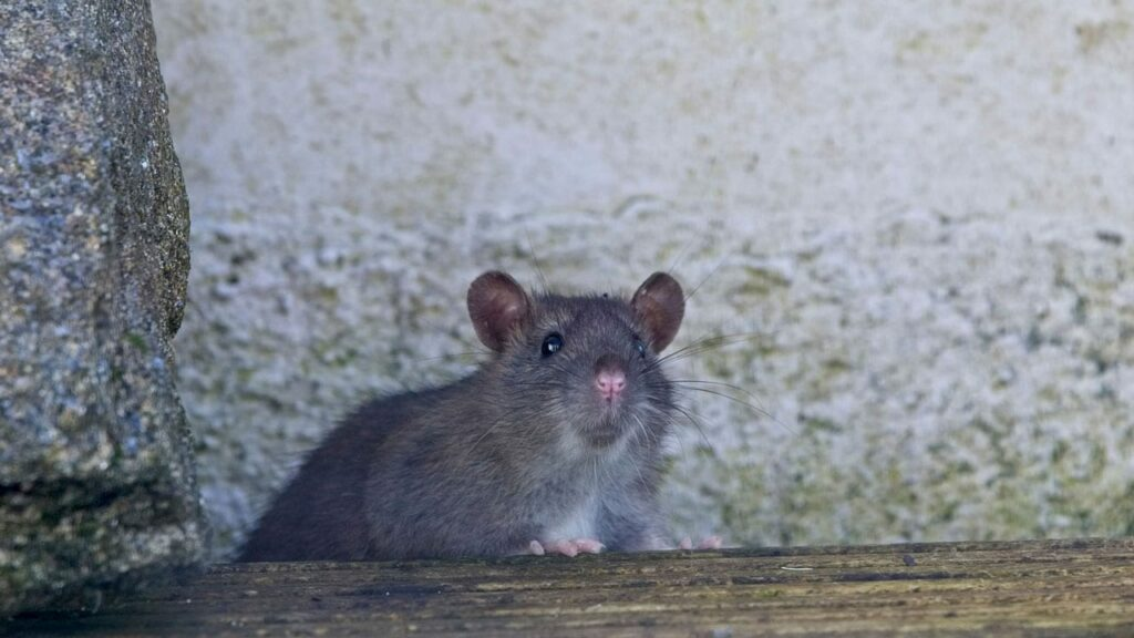 Ratten und ihre Nahrung
