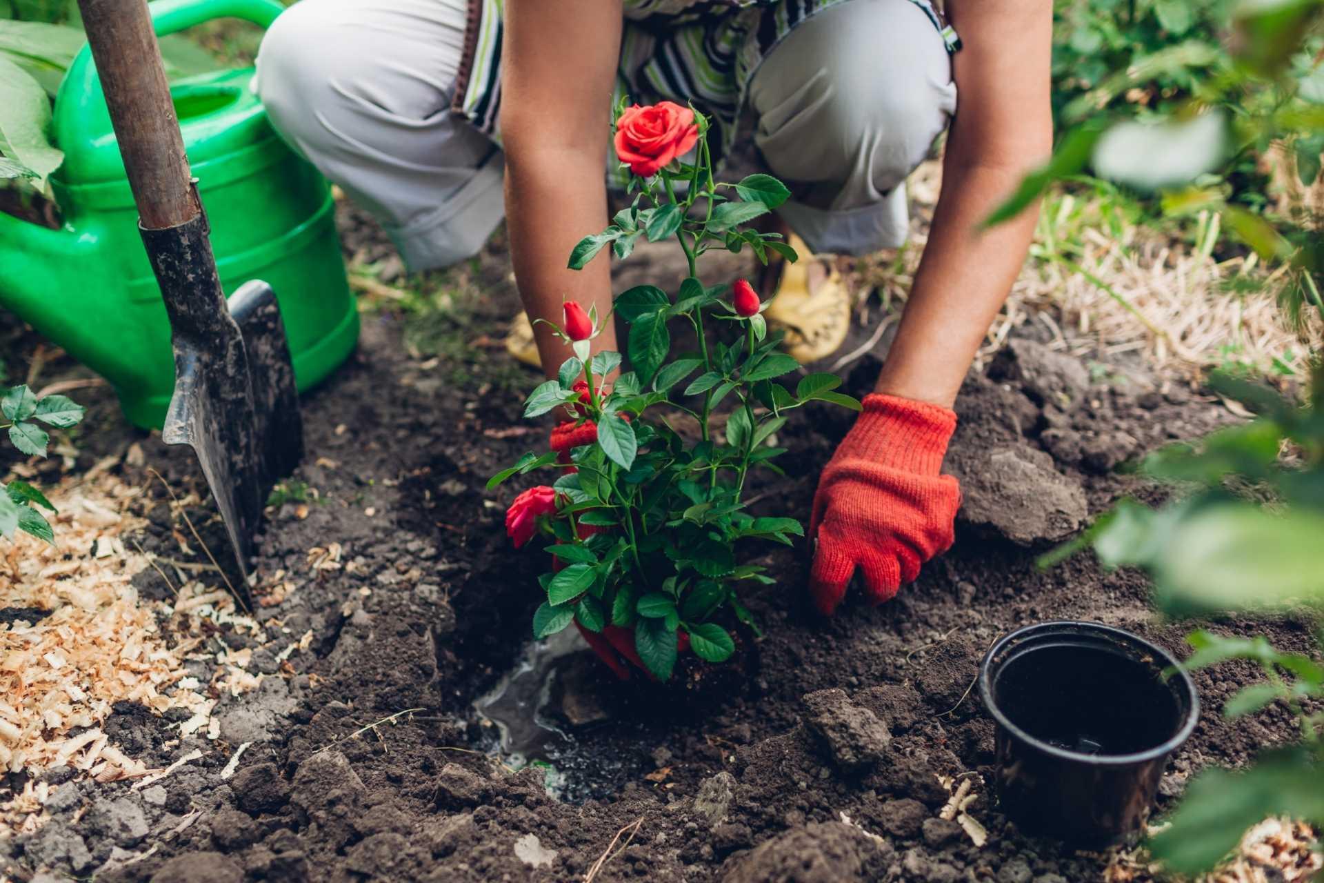 9 Fehler, die bei der Rosenpflege auftreten
