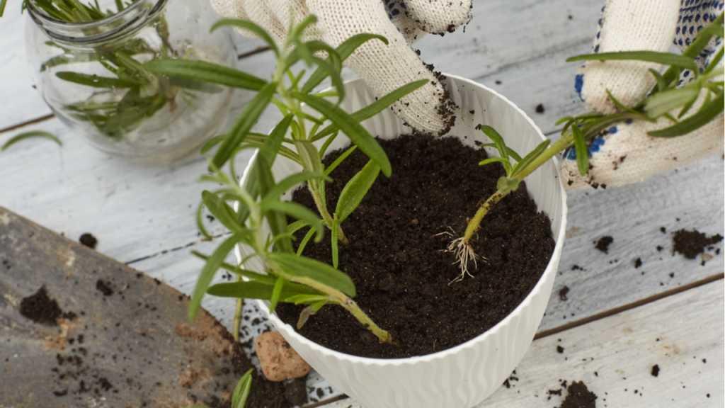 Zur Vermehrung der Rosmarinpflanze sollten keine holzigen Zweige verwendet werden.