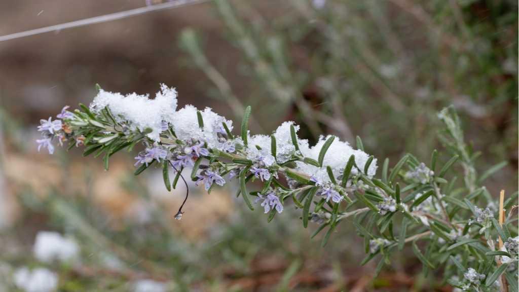Im Winter sollte man Rosmarin am besten ins Haus holen.