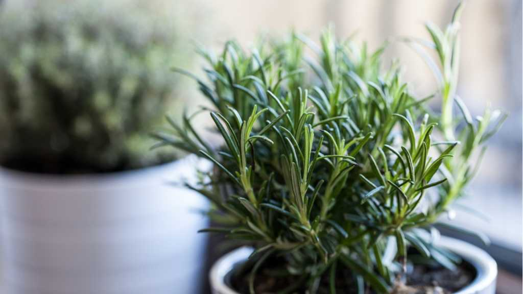 Die hübschen Rosmarinbüsche gibt es in allen Größen in Gartencentern und Baumschulen zu kaufen.