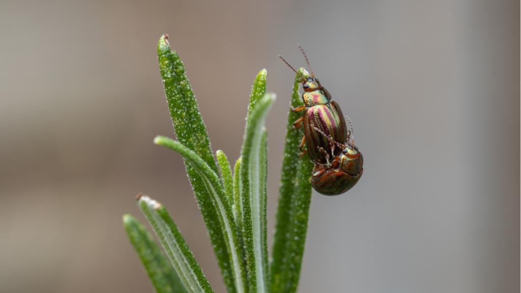 Neemöl-Zubereitungen oder Backsoda sind verträgliche Mittel zur Schädlingsbekämpfung am Rosmaringewächs.