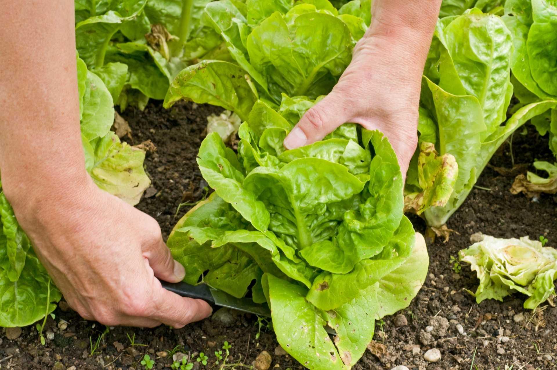 Erntetipps zum Salat ernten