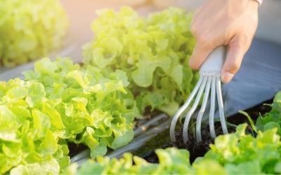 Salat im Gewächshaus anbauen – So geht's!