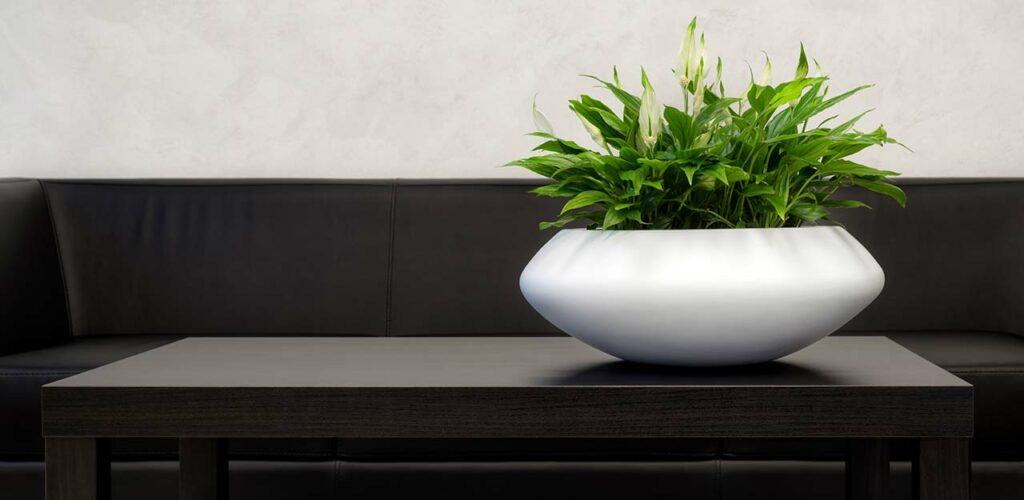 Pflegeleicht und verkraftet wenig Licht: Das Scheidenblatt ist die perfekte Pflanze für viele Büros