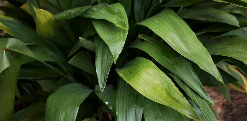 Die Schusterpalme ist eine pflegeleicht Zimmerpflanze für wenig Licht