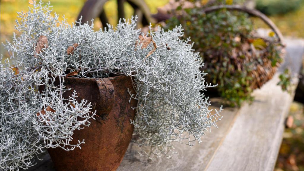 Balkon den winterpflanzen für Herbst: Pflanzen