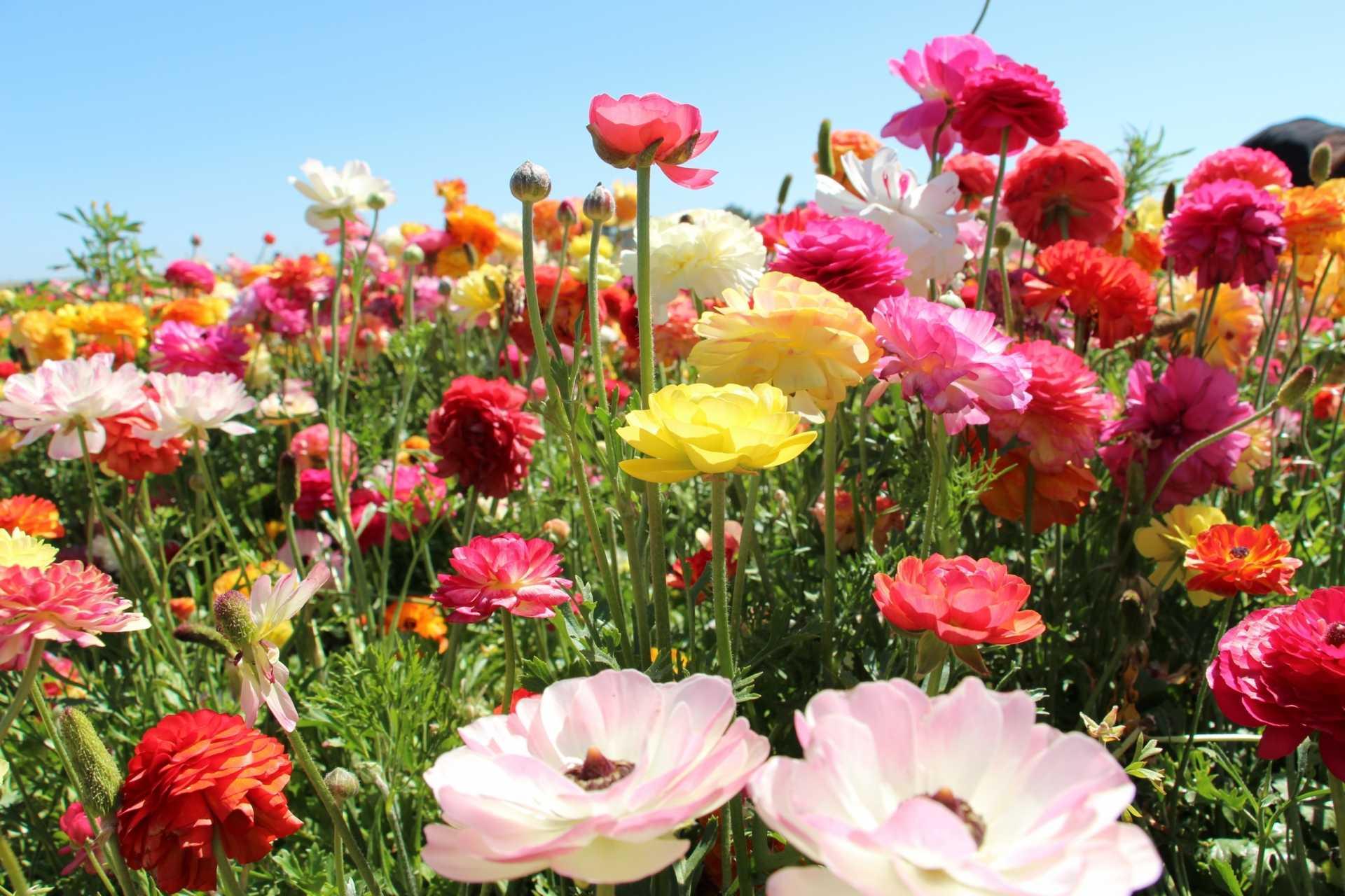 10 beliebte Sommerblumen für Ihren Garten