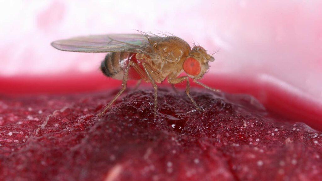 Ein Bild der Obstfliege auf einem Stück Frucht