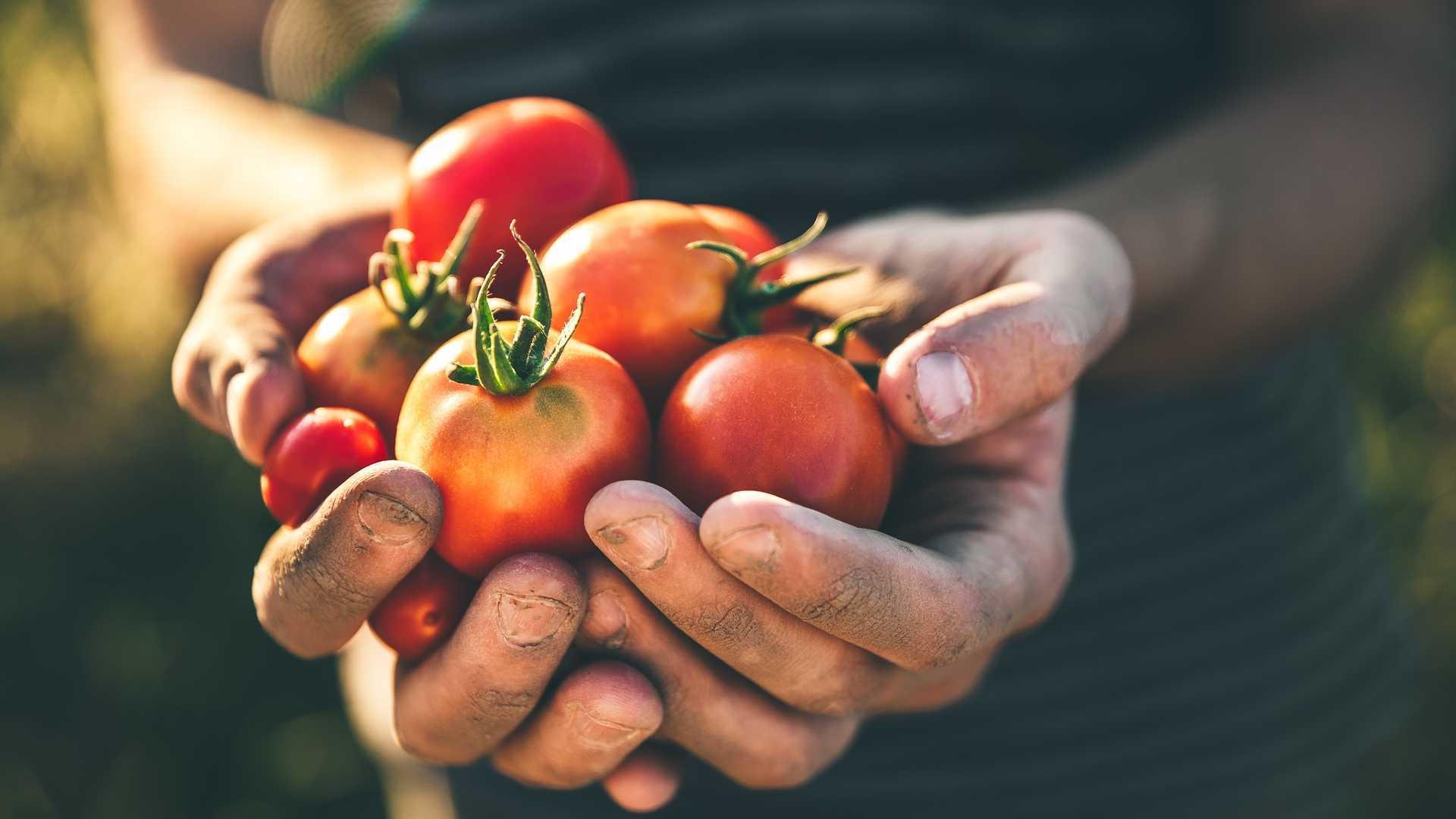 10 häufige Fehler beim Tomaten anbauen!