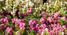 Torfmyrte - Die Pflege der Pflanze ist eigentlich ganz einfach, wenn Sie ein paar Dinge beachten.