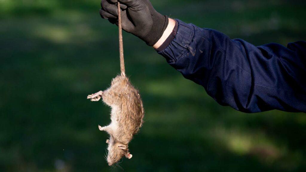 Tote Ratte nur mit Handschuhen entfernen!
