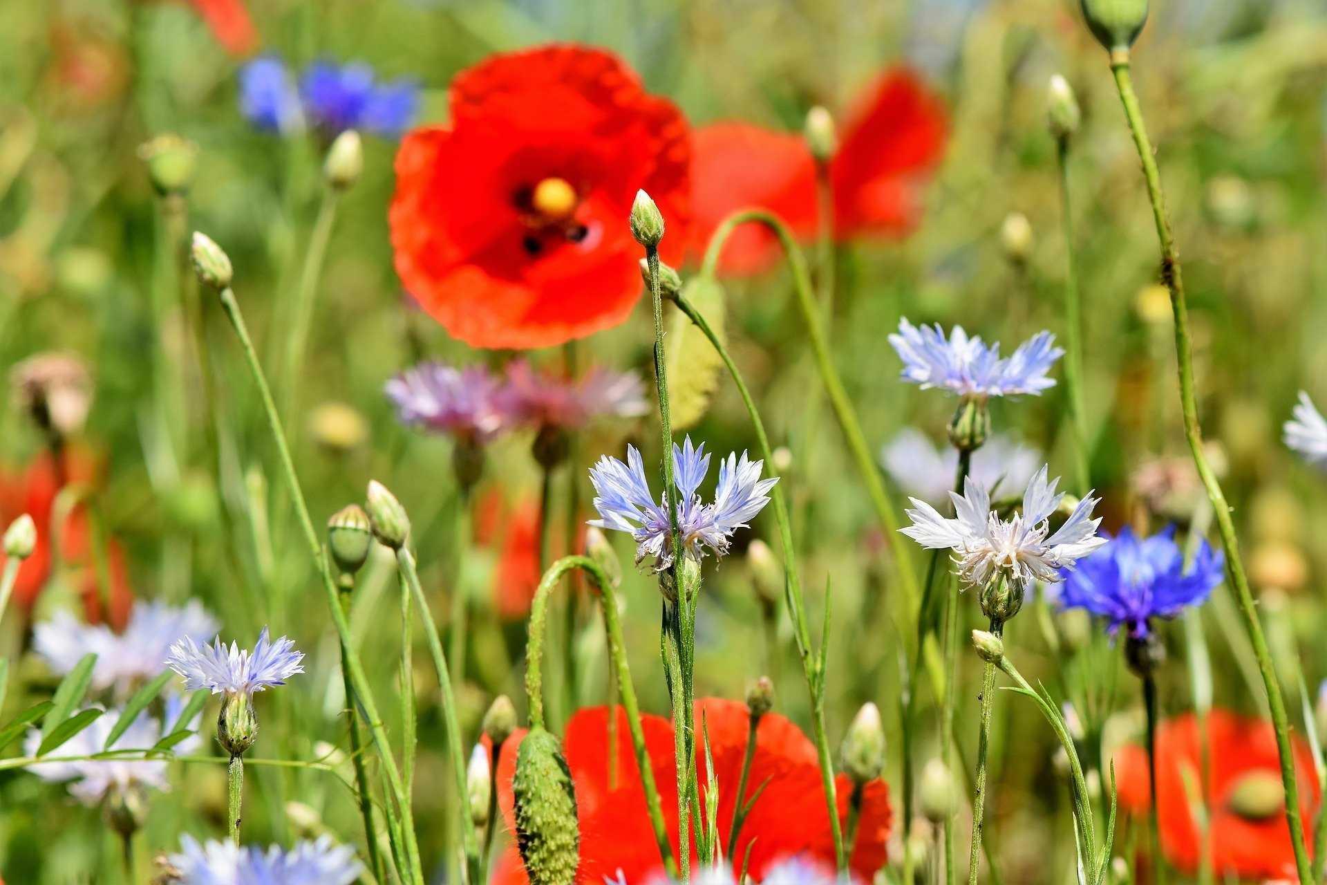 10 beliebte Wildblumen für Ihren Garten