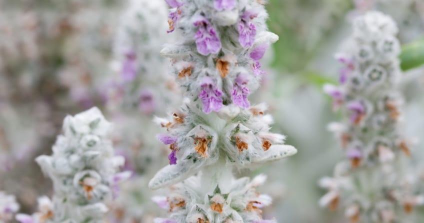 Wollziest ist eine immgrüne, schöne Pflanze mit einer Länge bis zu einem halben Meter..