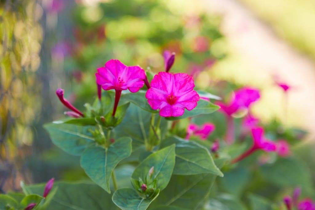 So Pflegt man die Wunderblume am besten