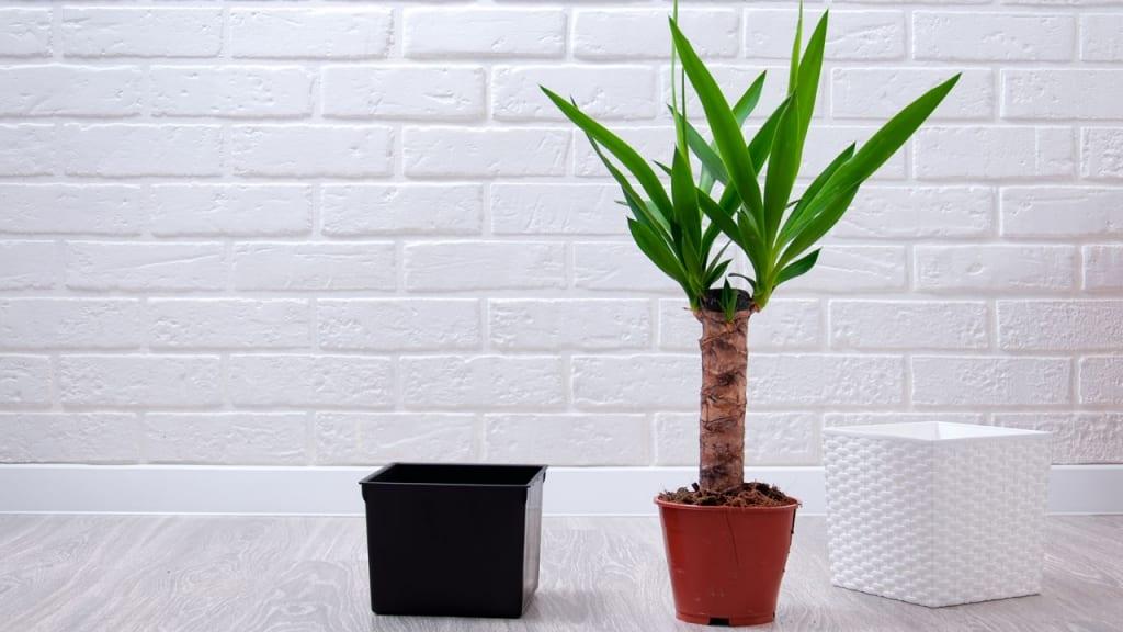 Die Yucca Palme ist eine wunderschöne und eine der beliebtesten Pflanzen, die viel Sonne vertragen und wenig Wasser brauchen.