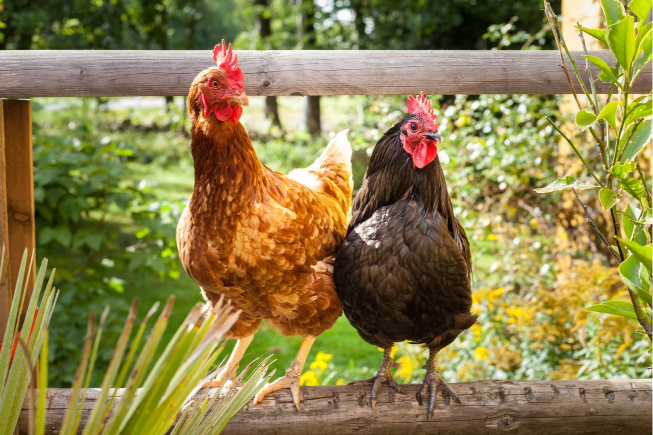 Hühner halten – komplette Anleitung für die private Hühnerhaltung