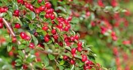 Ein anspruchsvoller Bodendecker: sich im Mai, sie sind rosa oder weiß , in Trauben hängend. Die Blüten verbleiben bis in den August, dann treten die apfelartigen Früchte hervor.