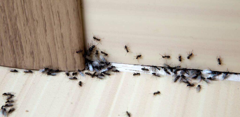 Was hilft gegen Ameisen in der Wohnung?