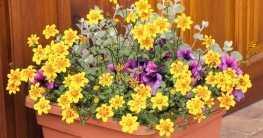 Goldmarie Pflege? Ist das überhaupt notwendig? Ja. Denn obwohl die Pflanze allgemein recht pflegeleicht ist, gibt es bei Standort, Gießen, Düngen und Vermehren ein paar Dinge zu beachten.