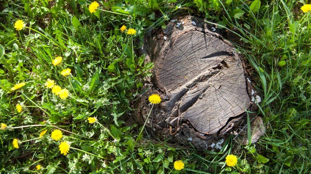 Baumstumpf mit Hand entfernen