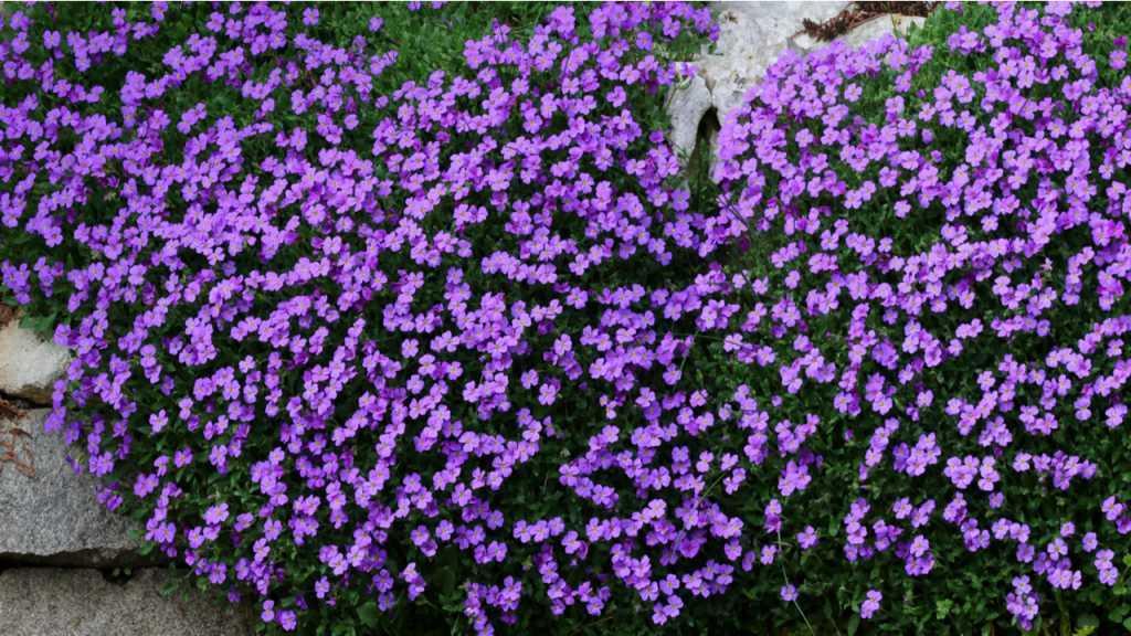 Bei der richtigen Blaukissen Pflege kann die Pflanze mit Samen oder Stecklingen vermehrt werden.