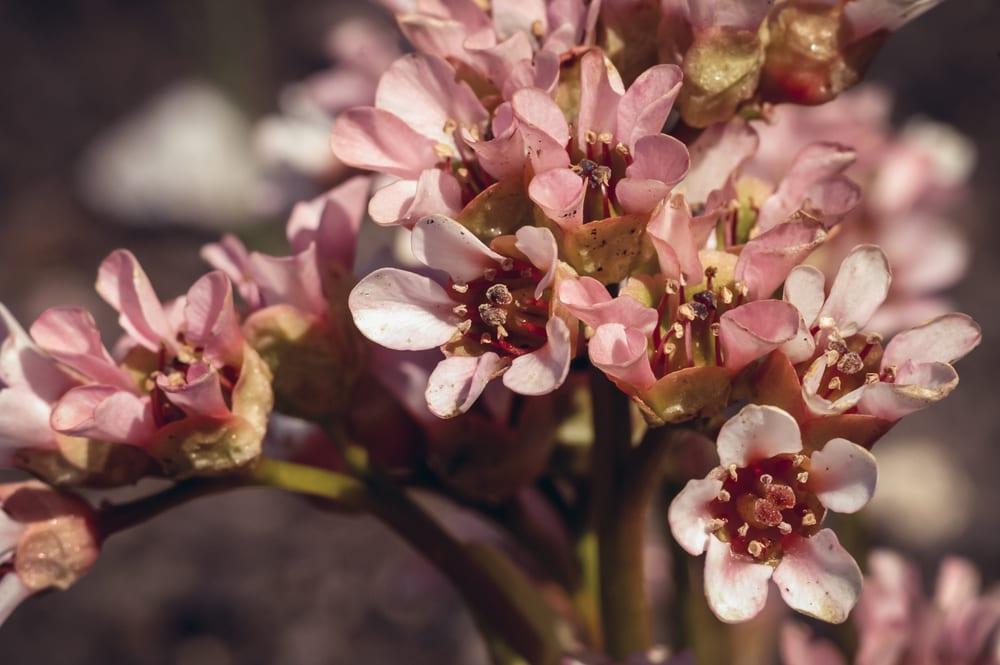 Eine Bergenie Blüte