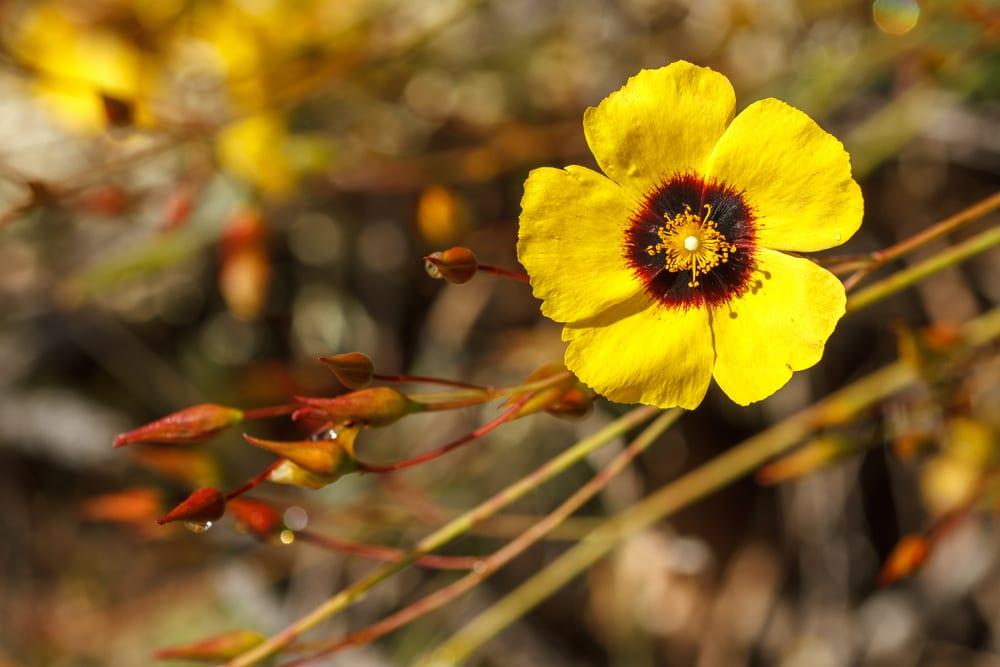 Die Blüte einer Halimium Pflanze