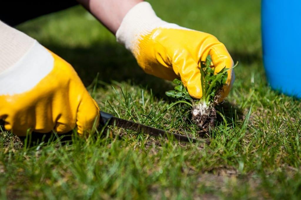 Unkraut im Rasen kann mit Hilfe eines Spatens beseitigt werden.