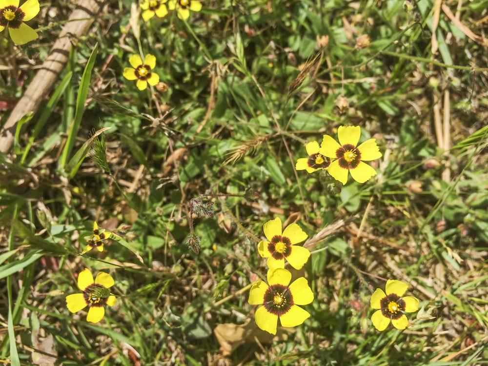 Halimium-Blüten auf einer Wiese.