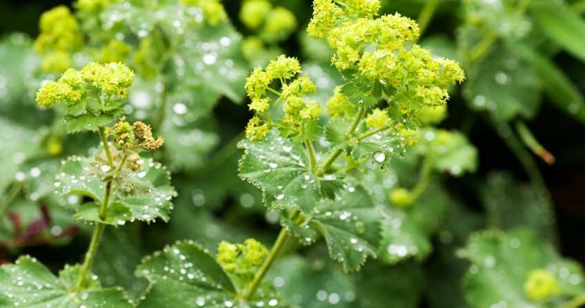 Der Weiche Frauenmantel ist mit der richtigen Pflege eine wunderschöne Pflanze